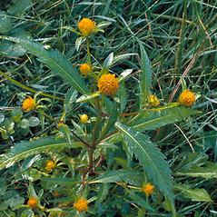 Plant form: Bidens connata. ~ By Andrew Nelson. ~ Copyright © 2021 Andrew Nelson. ~ andrew.nelson[at]oswego.edu   ~ New York Flora Atlas - newyork.plantatlas.usf.edu