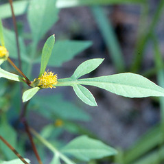 Leaves: Bidens connata. ~ By Arthur Haines. ~ Copyright © 2020. ~ arthurhaines[at]wildblue.net