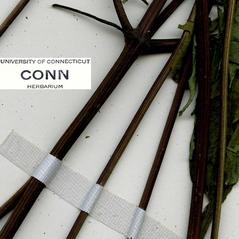 Stems: Bidens discoidea. ~ By CONN Herbarium. ~ Copyright © 2019 CONN Herbarium. ~ Requests for image use not currently accepted by copyright holder ~ U. of Connecticut Herbarium - bgbaseserver.eeb.uconn.edu/
