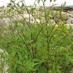Plant form: Bidens frondosa. ~ By Glen Mittelhauser. ~ Copyright © 2021 Glen Mittelhauser. ~ www.mainenaturalhistory.org