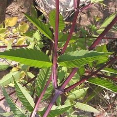 Stems: Bidens frondosa. ~ By Marilee Lovit. ~ Copyright © 2021 Marilee Lovit. ~ lovitm[at]gmail.com