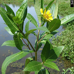 Plant form: Bidens laevis. ~ By Graves Lovell. ~ Copyright © 2021 CC BY-NC 3.0. ~  ~ Bugwood - www.bugwood.org/