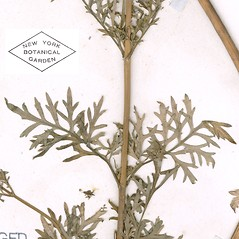 Leaves: Bidens tenuisecta. ~ By William and Linda Steere and the C.V. Starr Virtual Herbarium. ~ Copyright © 2020 William and Linda Steere and the C.V. Starr Virtual Herbarium. ~ Barbara Thiers, Director; bthiers[at]nybg.org ~ C.V. Starr Herbarium - NY Botanical Gardens