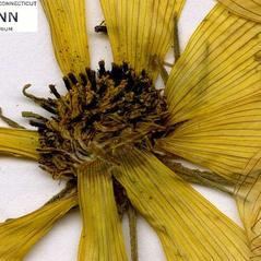 Flowers: Bidens trichosperma. ~ By CONN Herbarium. ~ Copyright © 2021 CONN Herbarium. ~ Requests for image use not currently accepted by copyright holder ~ U. of Connecticut Herbarium - bgbaseserver.eeb.uconn.edu/