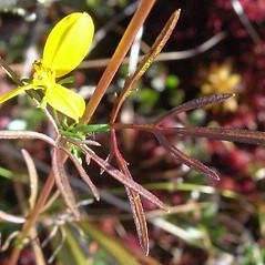 Leaves: Bidens trichosperma. ~ By Douglas McGrady. ~ Copyright © 2020 Douglas McGrady. ~ demcgrady[at]hotmail.com