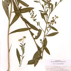 Plant form: Boltonia asteroides. ~ By CONN Herbarium. ~ Copyright © 2020 CONN Herbarium. ~ Requests for image use not currently accepted by copyright holder ~ U. of Connecticut Herbarium - bgbaseserver.eeb.uconn.edu/