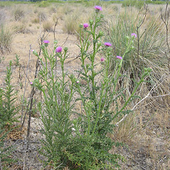 Plant form: Carduus acanthoides. ~ By Todd Pfeiffer. ~ Copyright © 2020 CC BY-NC 3.0. ~  ~ Bugwood - www.bugwood.org/