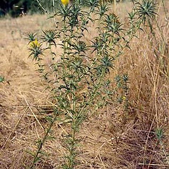 Plant form: Carthamus lanatus. ~ By Joseph DiTomaso. ~ Copyright © 2020 CC BY-NC 3.0. ~  ~ Bugwood - www.bugwood.org/