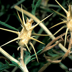 Fruits: Centaurea calcitrapa. ~ By Barry Rice. ~ Copyright © 2020 CC BY-NC 3.0. ~  ~ Bugwood - www.bugwood.org/