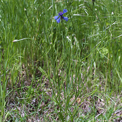 Plant form: Centaurea cyanus. ~ By Steven Baskauf. ~ Copyright © 2021 CC-BY-NC-SA. ~  ~ Bioimages - www.cas.vanderbilt.edu/bioimages/frame.htm