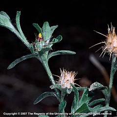 Fruits: Centaurea melitensis. ~ By Joseph DiTomaso. ~ Copyright © 2019 CC BY-NC 3.0. ~  ~ Bugwood - www.bugwood.org/