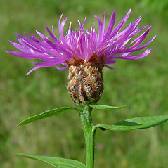 Flowers: Centaurea nigra. ~ By Arthur Haines. ~ Copyright © 2021. ~ arthurhaines[at]wildblue.net