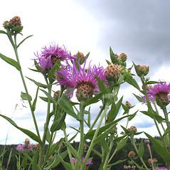 Plant form: Centaurea nigra. ~ By Marilee Lovit. ~ Copyright © 2020 Marilee Lovit. ~ lovitm[at]gmail.com