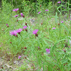 Plant form: Centaurea nigrescens. ~ By Arthur Haines. ~ Copyright © 2020. ~ arthurhaines[at]wildblue.net