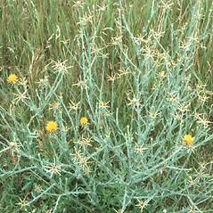 Plant form: Centaurea solstitialis. ~ By Stephen Solheim. ~ Copyright © 2020 Stephen Solheim. ~ solheims[at]uww.edu ~ Robert W. Freckmann Herbarium, U. of Wisconsin-Stevens Point