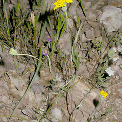 Plant form: Chaenactis glabriuscula. ~ By Keir Morse. ~ Copyright © 2020 Keir Morse. ~ www.keiriosity.com ~ CalPhotos - calphotos.berkeley.edu/flora/