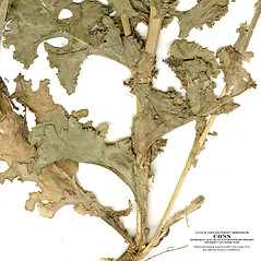 Stems: Cichorium endivia. ~ By CONN Herbarium. ~ Copyright © 2020 CONN Herbarium. ~ Requests for image use not currently accepted by copyright holder ~ U. of Connecticut Herbarium - bgbaseserver.eeb.uconn.edu/