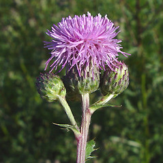Flowers: Cirsium arvense. ~ By Arthur Haines. ~ Copyright © 2020. ~ arthurhaines[at]wildblue.net