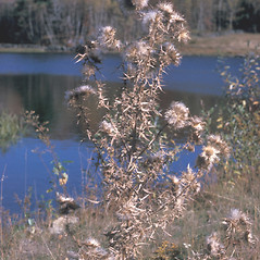 Fruits: Cirsium arvense. ~ By Frank Bramley. ~ Copyright © 2020 New England Wild Flower Society. ~ Image Request, images[at]newenglandwild.org