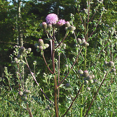 Plant form: Cirsium arvense. ~ By Arthur Haines. ~ Copyright © 2020. ~ arthurhaines[at]wildblue.net