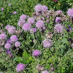 Plant form: Cirsium arvense. ~ By Glen Mittelhauser. ~ Copyright © 2021 Glen Mittelhauser. ~ www.mainenaturalhistory.org