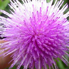 Flowers: Cirsium discolor. ~ By Glen Mittelhauser. ~ Copyright © 2021 Glen Mittelhauser. ~ www.mainenaturalhistory.org