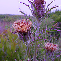 Flowers: Cirsium horridulum. ~ By Arthur Haines. ~ Copyright © 2021. ~ arthurhaines[at]wildblue.net