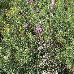Plant form: Cirsium muticum. ~ By Keir Morse. ~ Copyright © 2020 Keir Morse. ~ www.keiriosity.com ~ www.keiriosity.com