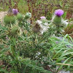 Plant form: Cirsium vulgare. ~ By Glen Mittelhauser. ~ Copyright © 2021 Glen Mittelhauser. ~ www.mainenaturalhistory.org