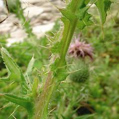 Stems: Cirsium vulgare. ~ By Glen Mittelhauser. ~ Copyright © 2021 Glen Mittelhauser. ~ www.mainenaturalhistory.org