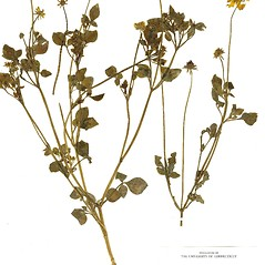 Plant form: Coreopsis basalis. ~ By CONN Herbarium. ~ Copyright © 2020 CONN Herbarium. ~ Requests for image use not currently accepted by copyright holder ~ U. of Connecticut Herbarium - bgbaseserver.eeb.uconn.edu/