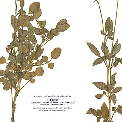 Leaves: Coreopsis basalis. ~ By CONN Herbarium. ~ Copyright © 2020 CONN Herbarium. ~ Requests for image use not currently accepted by copyright holder ~ U. of Connecticut Herbarium - bgbaseserver.eeb.uconn.edu/