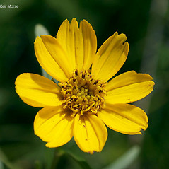 Flowers: Coreopsis palmata. ~ By Keir Morse. ~ Copyright © 2021 Keir Morse. ~ www.keiriosity.com ~ www.keiriosity.com