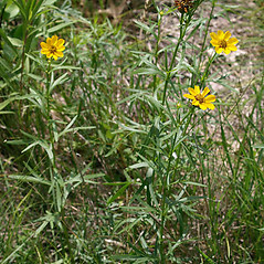Plant form: Coreopsis palmata. ~ By Keir Morse. ~ Copyright © 2021 Keir Morse. ~ www.keiriosity.com ~ www.keiriosity.com