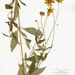 Plant form: Coreopsis pubescens. ~ By CONN Herbarium. ~ Copyright © 2020 CONN Herbarium. ~ Requests for image use not currently accepted by copyright holder ~ U. of Connecticut Herbarium - bgbaseserver.eeb.uconn.edu/