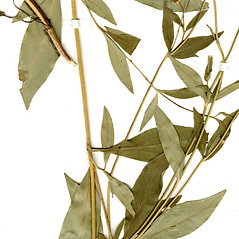 Leaves: Coreopsis pubescens. ~ By CONN Herbarium. ~ Copyright © 2021 CONN Herbarium. ~ Requests for image use not currently accepted by copyright holder ~ U. of Connecticut Herbarium - bgbaseserver.eeb.uconn.edu/