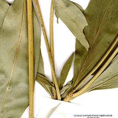 Stems: Coreopsis pubescens. ~ By CONN Herbarium. ~ Copyright © 2021 CONN Herbarium. ~ Requests for image use not currently accepted by copyright holder ~ U. of Connecticut Herbarium - bgbaseserver.eeb.uconn.edu/