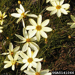Flowers: Coreopsis verticillata. ~ By Dow Gardens. ~ Copyright © 2021 CC BY-NC 3.0. ~  ~ Bugwood - www.bugwood.org/