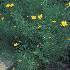 Plant form: Coreopsis verticillata. ~ By Lawrence Newcomb. ~ Copyright © 2021 New England Wild Flower Society. ~ Image Request, images[at]newenglandwild.org