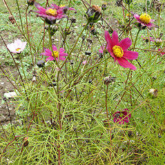 Plant form: Cosmos bipinnatus. ~ By Vojtech Herman . ~ Copyright © 2021 V. Herman . ~ www.biolib.cz ~ Biolib - www.biolib.cz