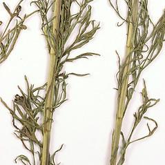 Stems: Cosmos parviflorus. ~ By University of Massachusetts Herbarium (MASS). ~ Copyright © 2021 University of Massachusetts Herbarium. ~ University of Massachusetts Herbarium ~ U. of Massachusetts Herbarium