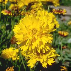 Flowers: Cosmos sulphureus. ~ By Howard Schwartz. ~ Copyright © 2020 CC BY-NC 3.0. ~  ~ Bugwood - www.bugwood.org/