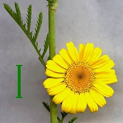 Stems: Cota tinctoria. ~ By Leo Michels. ~  Public Domain. ~  ~ luirig.altervista.org/flora/taxa/north-america.php