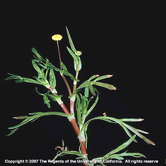 Leaves: Cotula coronopifolia. ~ By Joseph DiTomaso. ~ Copyright © 2020 CC BY-NC 3.0. ~  ~ Bugwood - www.bugwood.org/