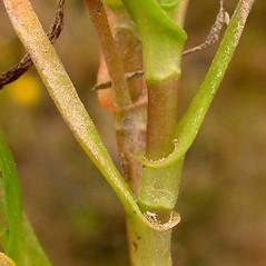 Stems: Cotula coronopifolia. ~ By Ben Legler. ~ Copyright © 2021 Ben Legler. ~ mountainmarmot[at]hotmail.com ~ U. of Washington - WTU - Herbarium - biology.burke.washington.edu/herbarium/imagecollection.php