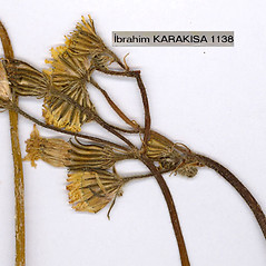 Flowers: Crepis foetida. ~ By Dr. Nasip Demirkus. ~ Copyright © 2020 Dr. Nasip Demirkus. ~ nasip[at]hotmail.com