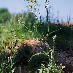 Plant form: Crepis setosa. ~ By Joseph DiTomaso. ~ Copyright © 2020 CC BY-NC 3.0. ~  ~ Bugwood - www.bugwood.org/