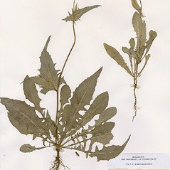 Leaves: Crepis setosa. ~ By CONN Herbarium. ~ Copyright © 2020 CONN Herbarium. ~ Requests for image use not currently accepted by copyright holder ~ U. of Connecticut Herbarium - bgbaseserver.eeb.uconn.edu/