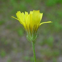 Flowers: Crepis tectorum. ~ By Arthur Haines. ~ Copyright © 2020. ~ arthurhaines[at]wildblue.net