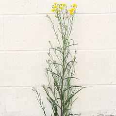 Plant form: Crepis tectorum. ~ By Arieh Tal. ~ Copyright © 2020 Arieh Tal. ~ http://botphoto.com/ ~ Arieh Tal - botphoto.com